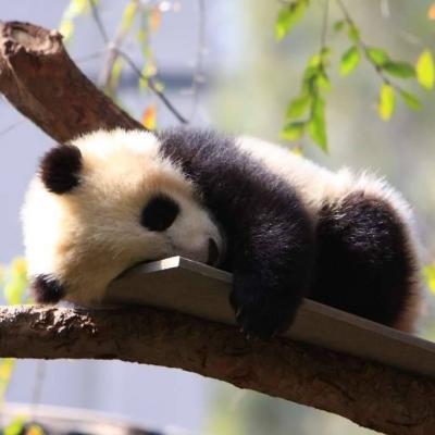Pandos gali miegoti iki 14 val. per parą. Nebūk panda, nemiegok - registruokis į Birštono vasaros menų akademiją!